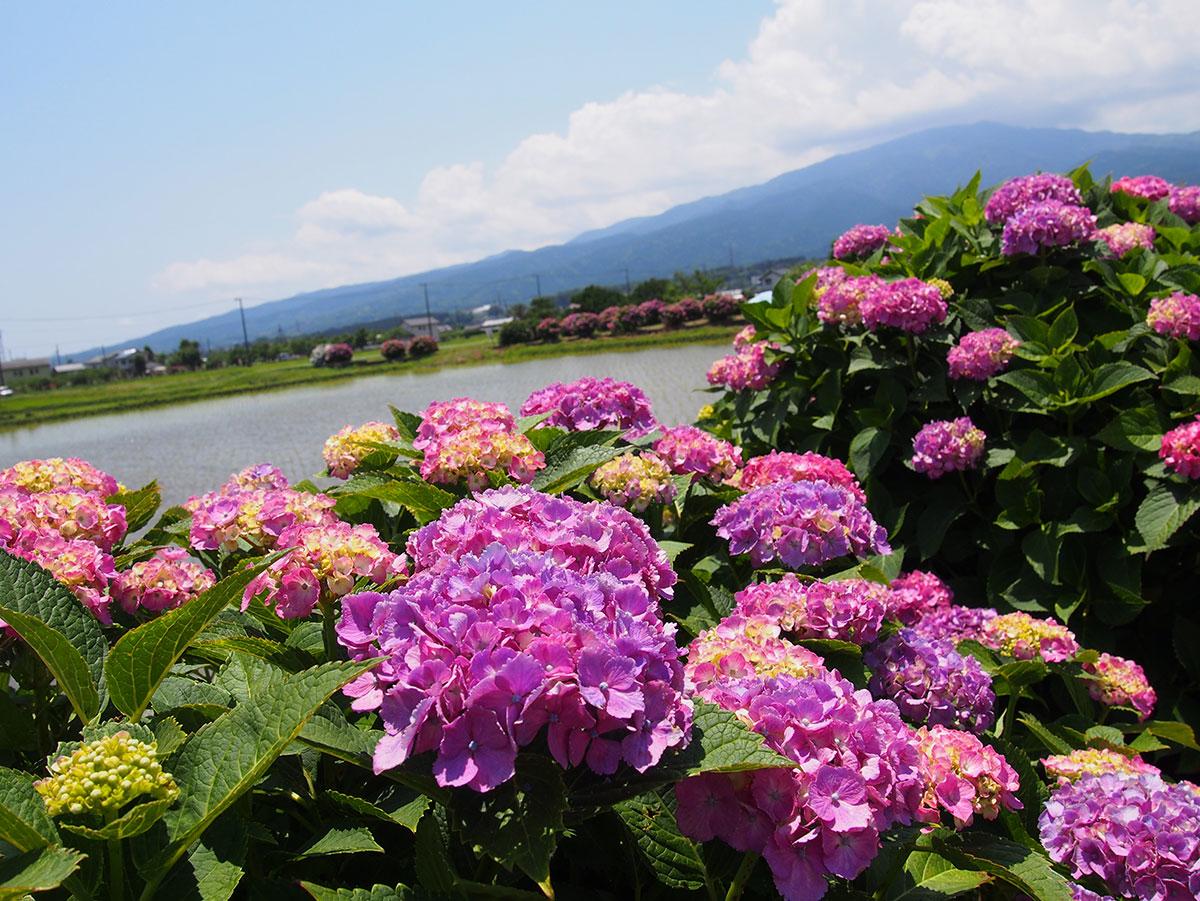 2018年6月 開花情報 初夏の花々が見頃です!
