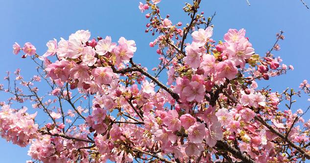 2019開花状況 松田町「まつだ桜まつり」の河津桜