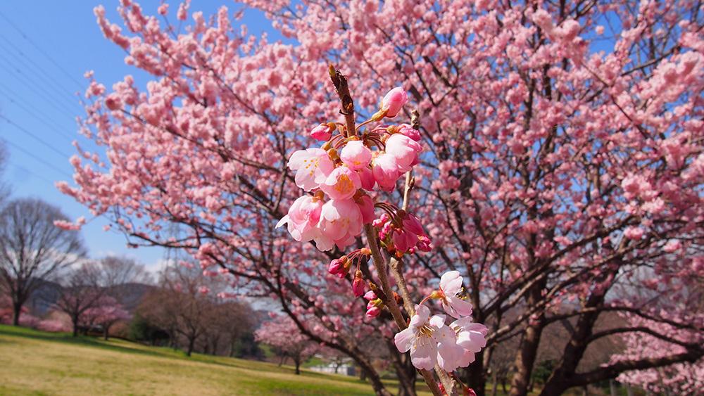 2019年開花情報 南足柄市 『春めき桜』が満開です!