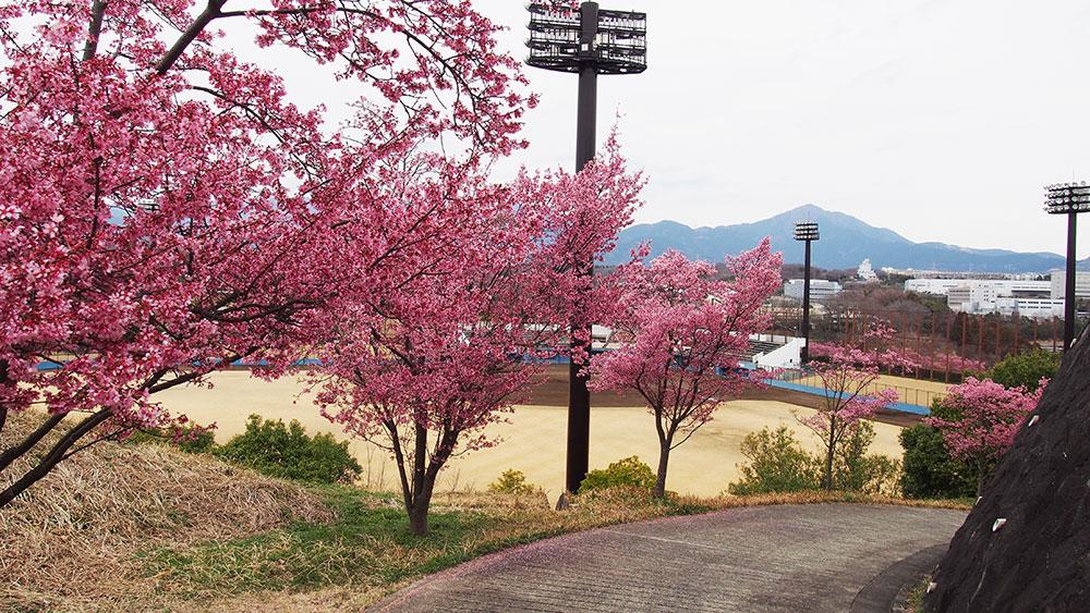 2019年開花情報 中井中央公園「オカメ桜」「河津桜」満開から散りはじめです。