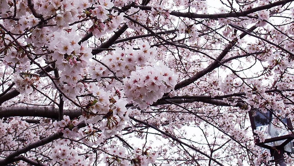2019年開花情報 足柄地域の『ソメイヨシノ』が見頃となりました。