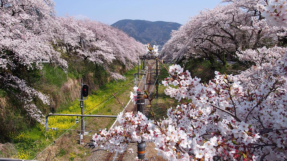2019年開花情報 足柄地域の『ソメイヨシノ』が満開となりました。
