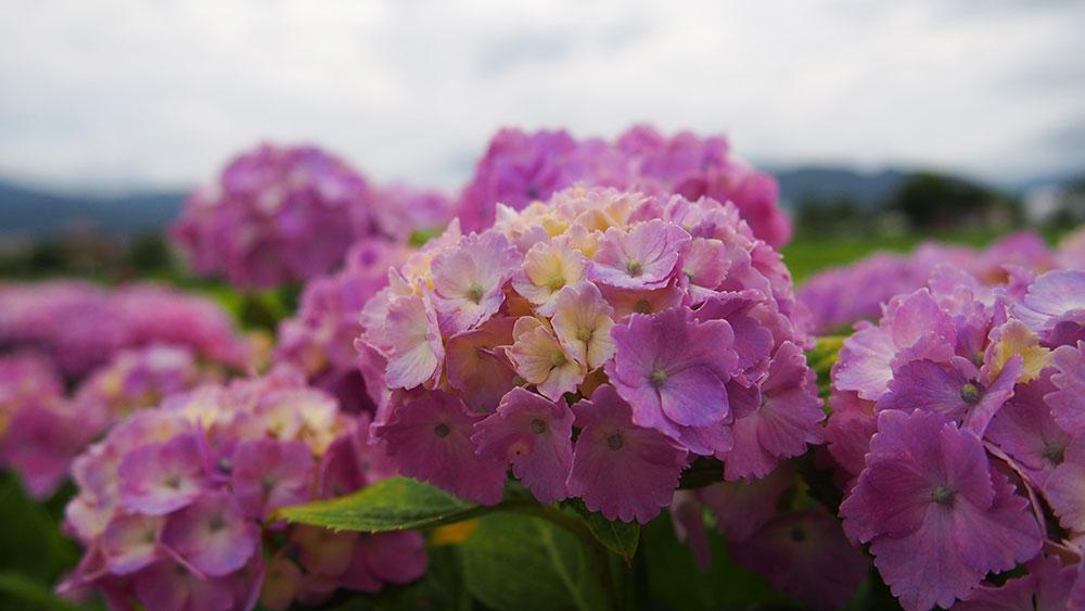 開花情報 開成町「アジサイ」見頃・大井町「花菖蒲」が見頃~終わりかけです。