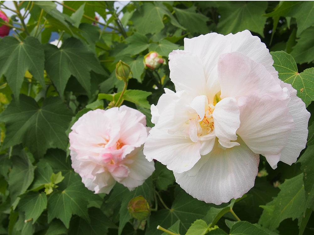 2019年開花情報 南足柄市『酔芙蓉』は咲き始め。『リコリス(ヒガンバナ)』はこれからです!