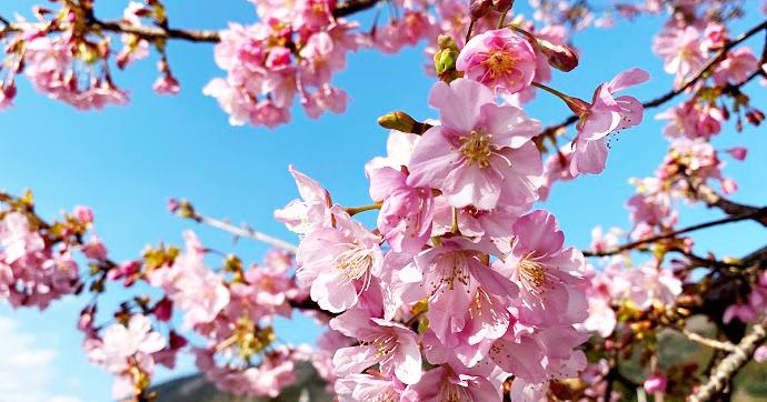 2020年2月8日「まつだ桜まつり」開花情報