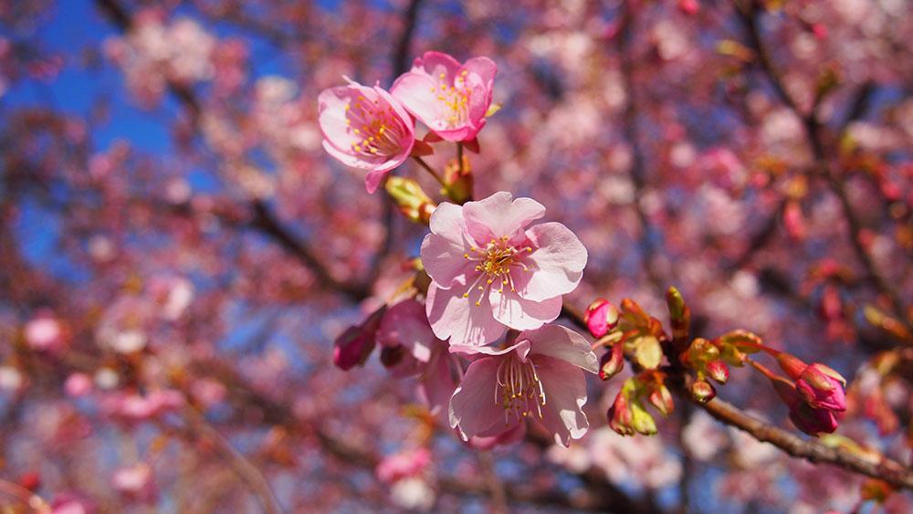 2020年開花情報 大井町 河津桜「未病バレー ビオトピア」5~6分咲き、「おおいゆめの里」は咲き始めです!
