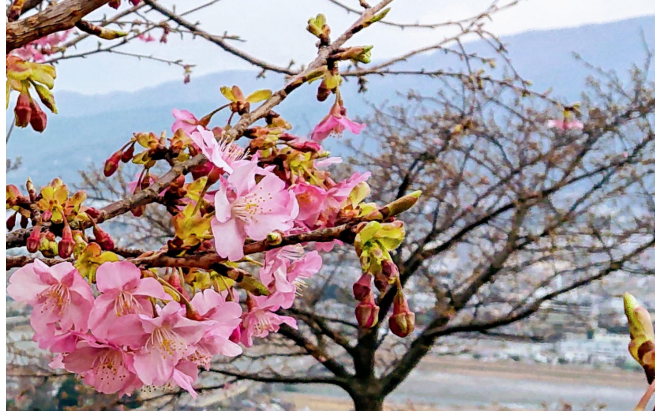 2020年 西平畑公園・松田山ハーブガーデンの河津桜が咲き始めました!