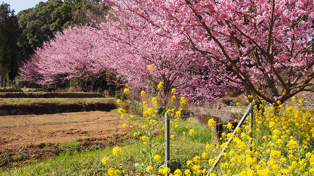 2020年 開花情報 大雄町 花咲く里山の「大雄紅桜」が満開です!