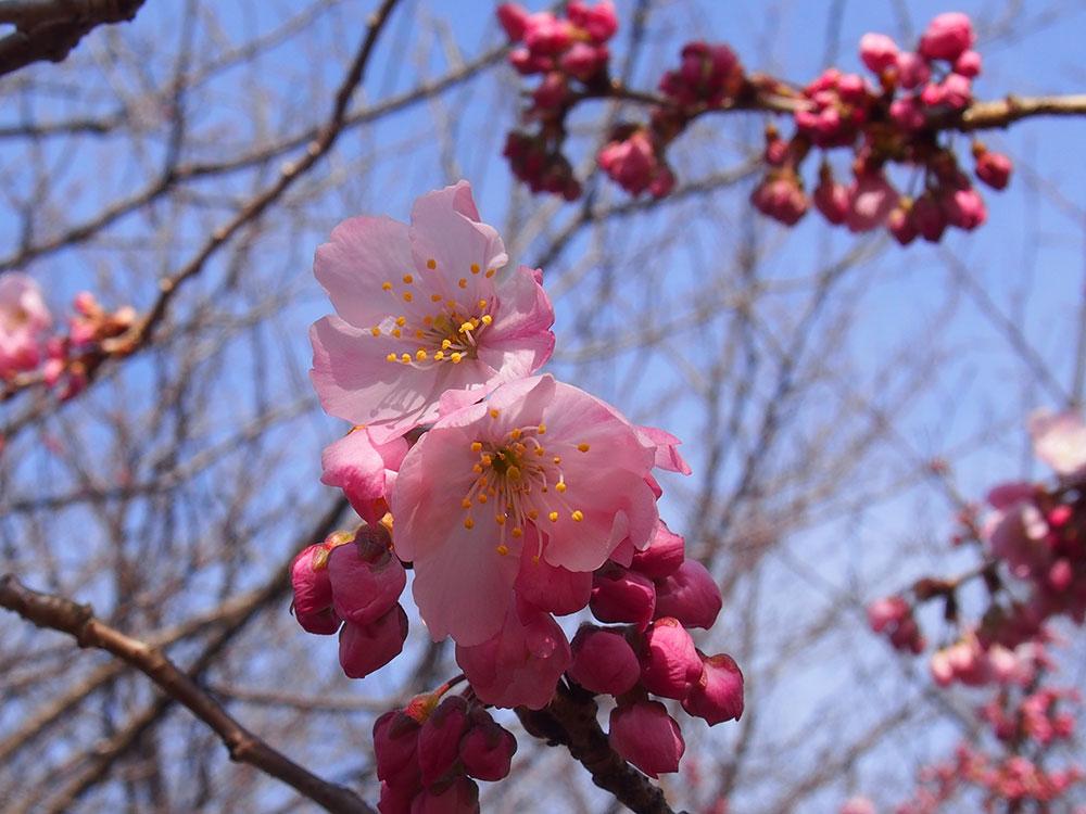 2020年3月3日 開花情報 南足柄市「春めき桜」が咲き始めました!