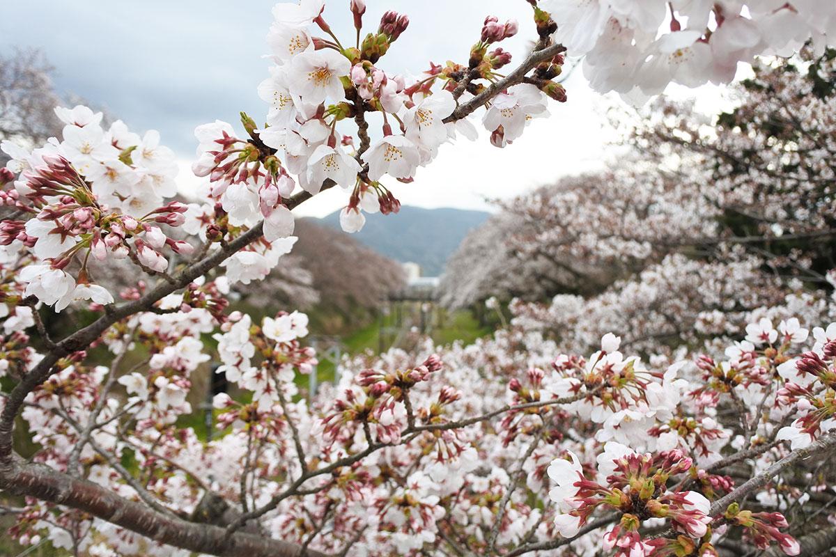 2020年3月27日 JR御殿場線「山北駅」&南足柄市「大口広場」ソメイヨシノの様子です。