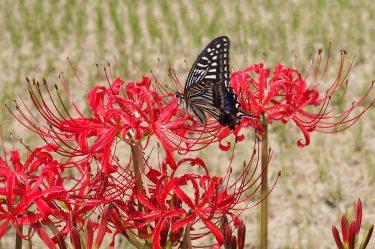 2020年開花情報 南足柄市『酔芙蓉』はこれから。『リコリス(ヒガンバナ)』は咲き始めです。