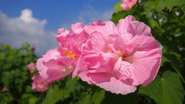 2020年開花情報 南足柄市『酔芙蓉』が咲き始めました。