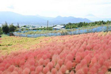 赤と緑のグラデーションが美しい、松田山「コキアの里」 10/3~11には西平畑公園でイベントも