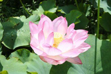 2021年7月12日 梅雨の合間の晴天に誘われて「中井蓮池の里」で開花はじまる