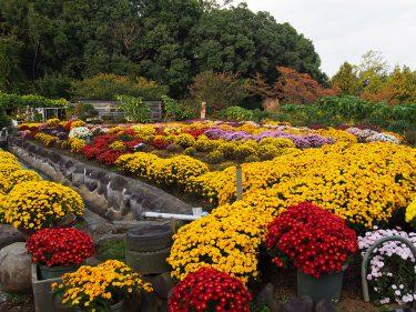 大雄町 花咲く里山の「ざる菊まつり」10月23日から開催